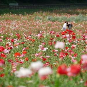 くりはま花の国ポピー園にて