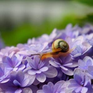 梅雨入りの庭で紫陽花とカタツムリ