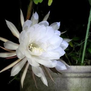 一夜限りの夏の夜の夢月下美人咲く!