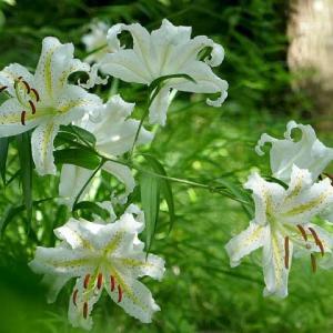 舞岡公園~林床に咲くヤマユリ