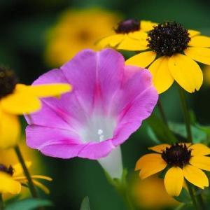ルドベキアと庭の花