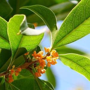 秋の訪れを香りで告げる金木犀咲く
