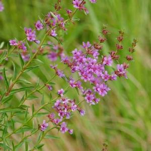 ミソハギの花と蝶たち