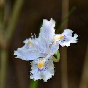 シャガの花が咲く