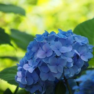 横浜八景島~青い海と紫陽花
