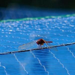青い防鳥ネットに止まる真っ赤なトンボ