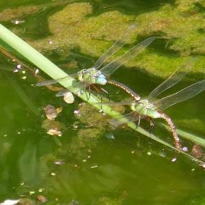 水辺で連結産卵中のギンヤンマ