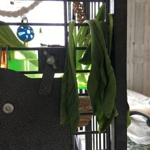 復活の小松菜