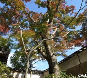 近くのお寺の紅葉2019(1)