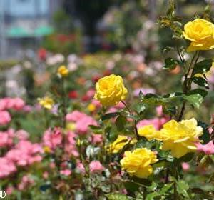 「ガレリアかめおか」のバラ(1)