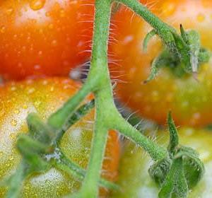 庭のトマトその後