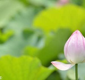 まだ咲いてたハスの花(1)