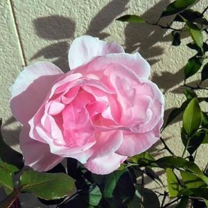 鉢植えのバラが綺麗に!