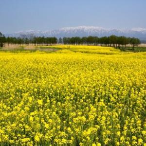 福島潟に咲き誇る菜の花が見頃!