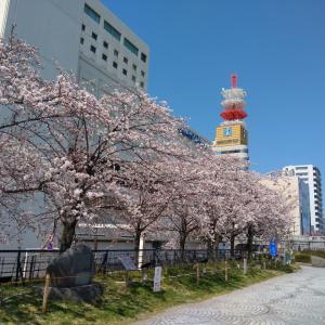 新潟市も満開が近い!?やすらぎ堤の桜を眺めてきた