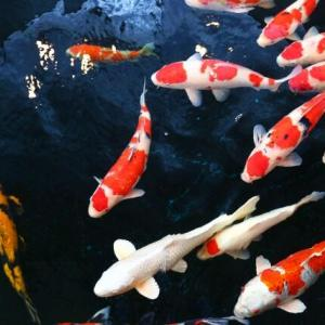 新潟の錦鯉をネット販売する「コイファン」がサービス開始