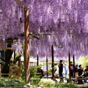 今年もGWに「北方文化博物館」で藤の花のライトアップ開催!