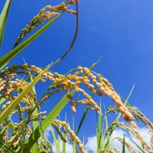 日本の農作物を守れ!改正種苗法施行で新潟のブランド品種も海外への持ち出しが禁止に!