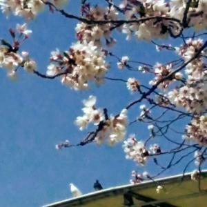 桜と白いハトと青い空