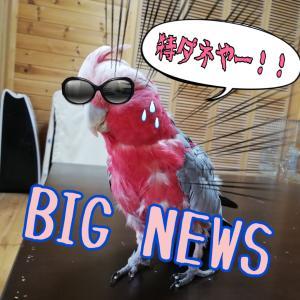 【緊急企画】勝手にコラボ妄想インコ劇場