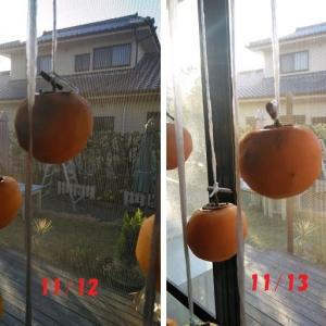 吊るし柿観察日記
