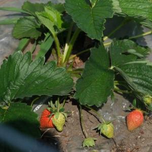 イチゴ被害やっぱり