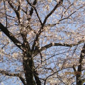 3月20日東京世田谷区内桜開花状況(2020)