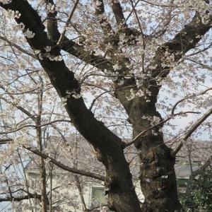 杉並区桜開花状況(2020.03.22.)