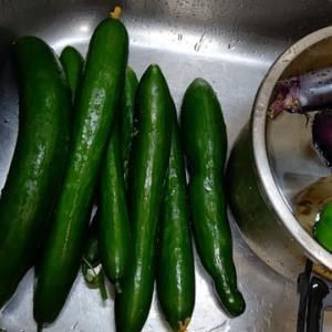 夏野菜収穫差し上げます