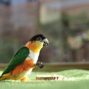 サンルーム放鳥
