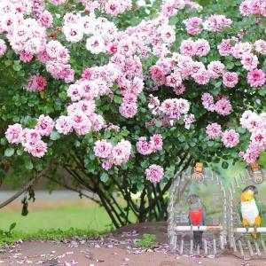 あづま運動公園のバラ2