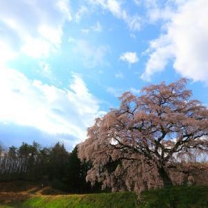 芳水の桜2