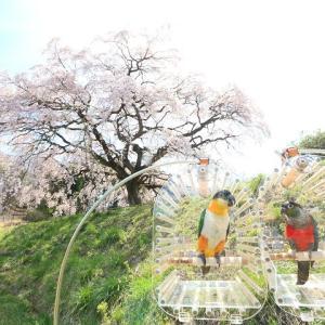 芳水の桜3