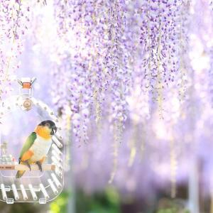 藤の花とインコ2