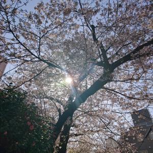 ○今年は見られないと思っていた桜…