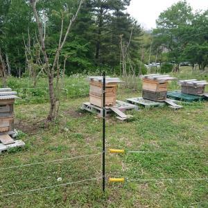 梅雨の合間にみつばちが分蜂