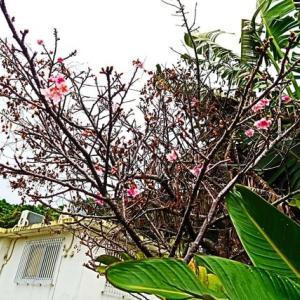 めぇみちの桜