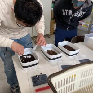 珈琲豆、仕分け作業の開始!