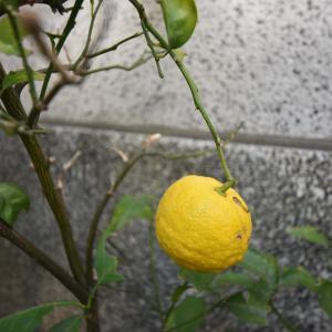 ここは台東区松が谷3丁目にて 柚子の実色ずく
