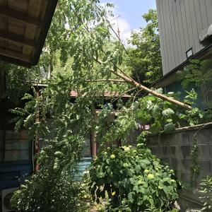 玄関前の大木(白膠木?)を伐採