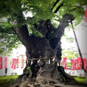 樹齢1000年越え。梟住む今宮神社のケヤキ