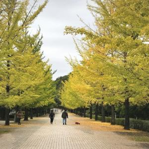 寒さで色づいたミューズの公孫樹並木