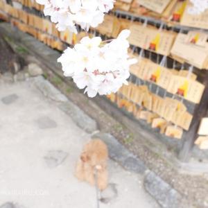 愛犬と安部文殊院の桜を見てきたよ!知恵の神さまだけじゃないんだよ。