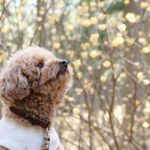 ミツマタ群生地を愛犬とお散歩して陽気な春の訪れを感じたよ!