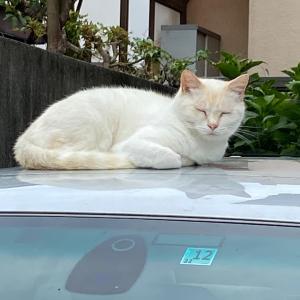 外車に乗る猫⁉️