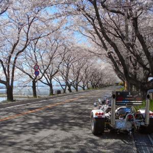 令和2年4月4日・桑名木曽岬桜街道 満開の桜トンネルを・・・