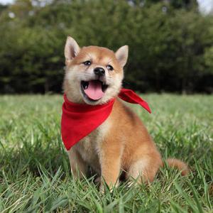 【豆柴】はじめてシャワーを浴びた子犬のリアクションが可愛すぎるww A puppy taking a shower for the very first time is too cute lol