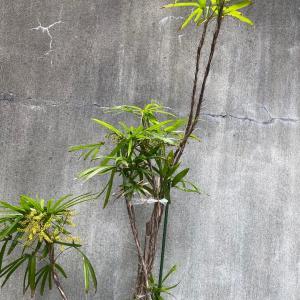 シュロチクの花