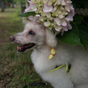 朝イチ紫陽花