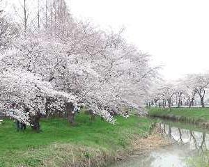 桜咲いた!